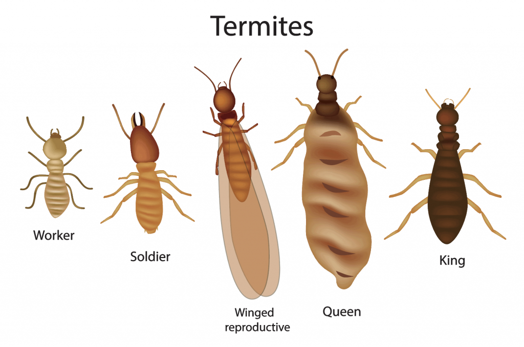 Termites in Greenville, SC from Scout's Pest Control
