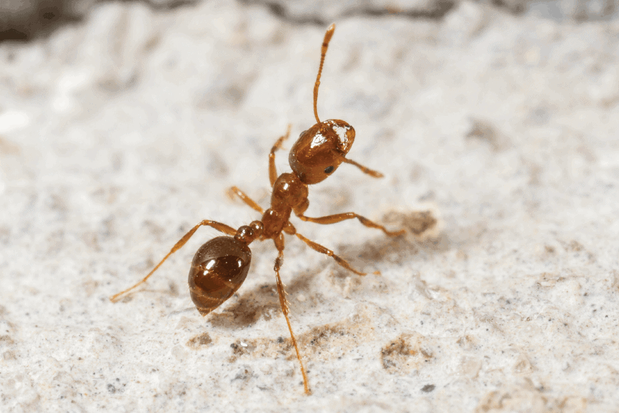 Protecting from fire ants - tips from Scout's Pest Control in Greenville, SC