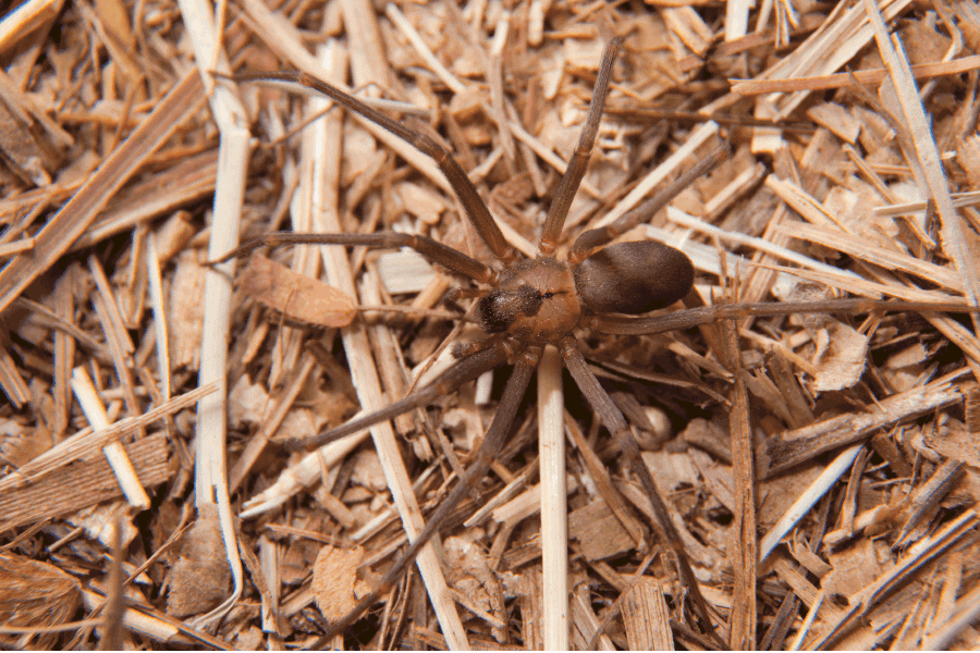 Brown Recluse spider, Scout's Pest Control in Greenville, SC