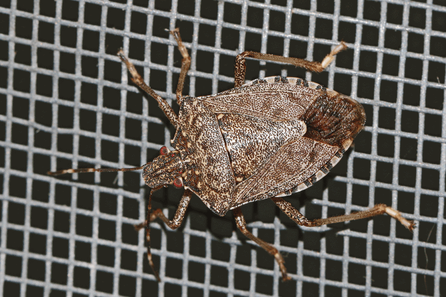 seeing stink bugs on your windows? here are some tips from scout's pest control in greenville, sc.