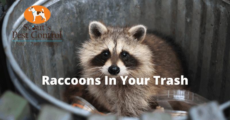fall pest control-raccoons