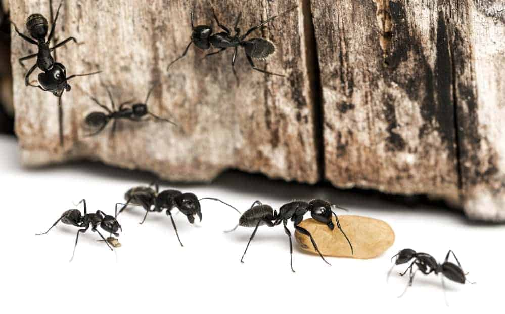 carpenter ant control greenville sc