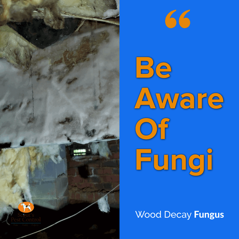 wood decay fungus in crawl space