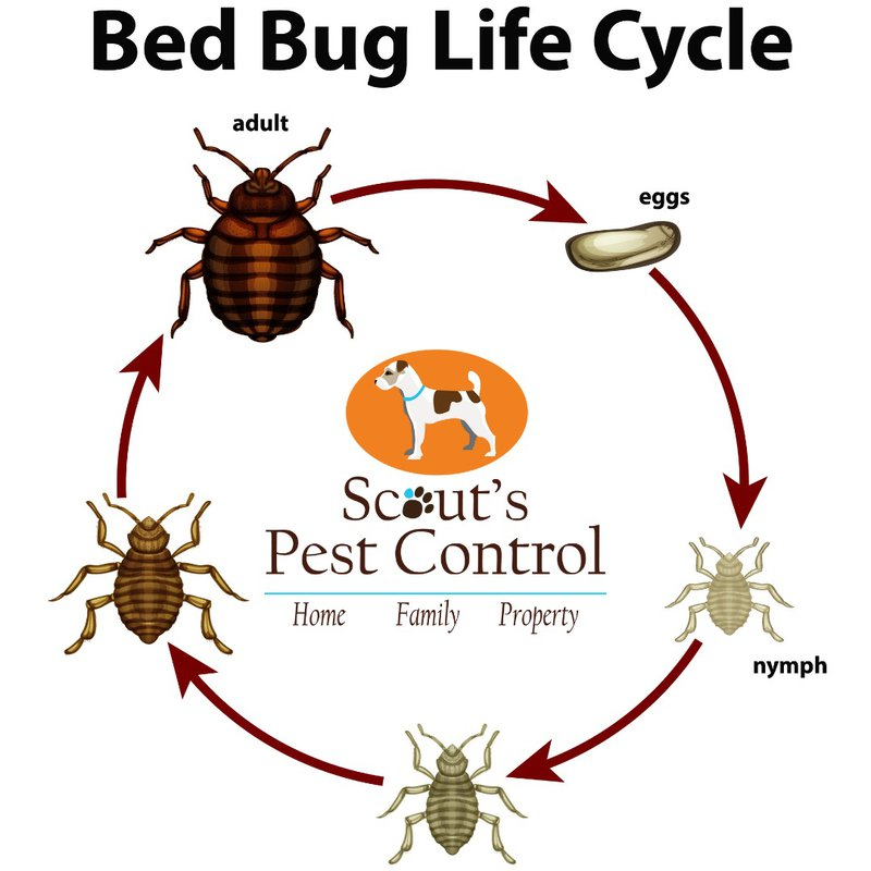 bed bug heat treatment destroys the bed bug life cycle