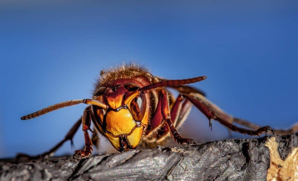 hornet, hornets, wasps