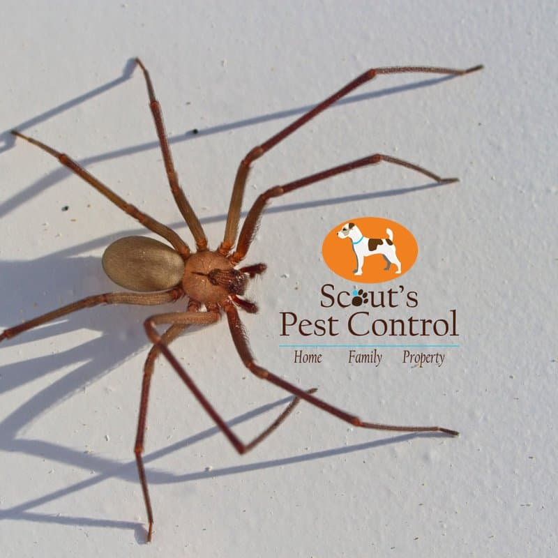 how a common brown spider gets easily mistaken for a brown recluse spider