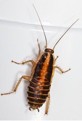 dangers of cockroaches
