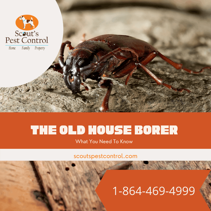 how serious is old house borer damage?