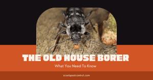 old house borer damage