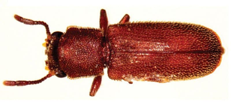 powderpost beetle damage in your home
