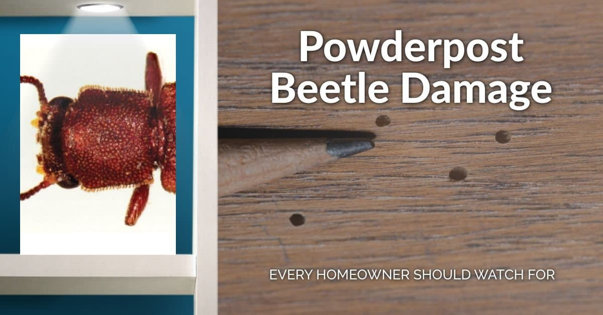 powderpost beetle damage