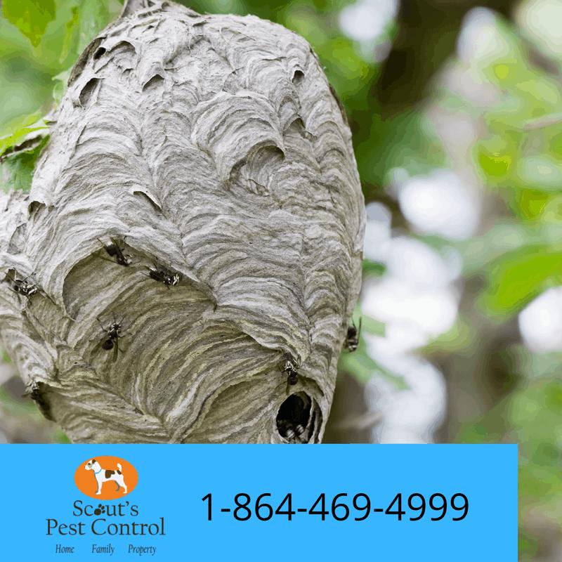 hornets nesting