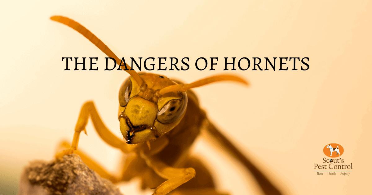 The Dangers of Hornets